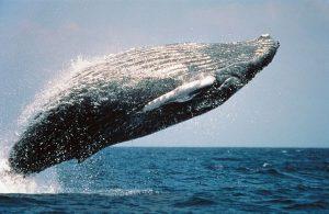 Cuánto viven las ballenas
