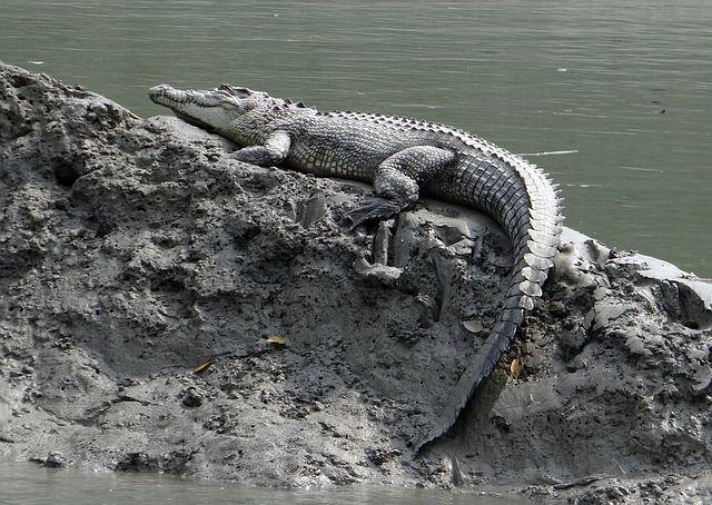 Cuánto viven los cocodrilos