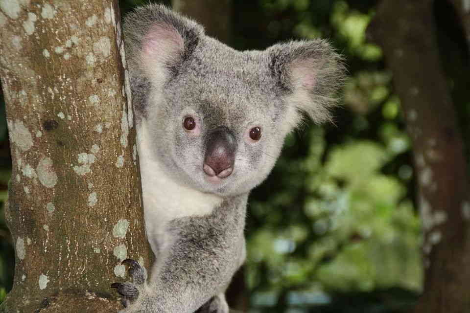 Cuánto viven los koalas