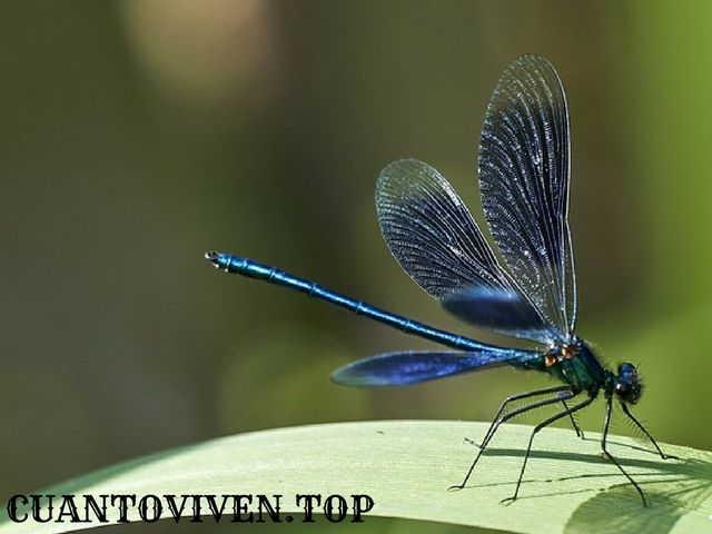 Cuánto tiempo viven las libélulas