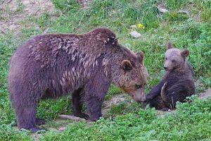cuánto viven los osos