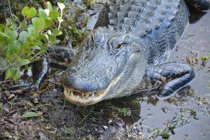 Esperanza de vida de los cocodrilos