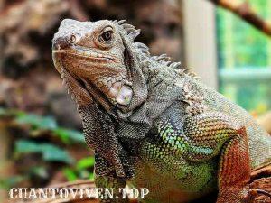 Una iguana descansando en cautiverio