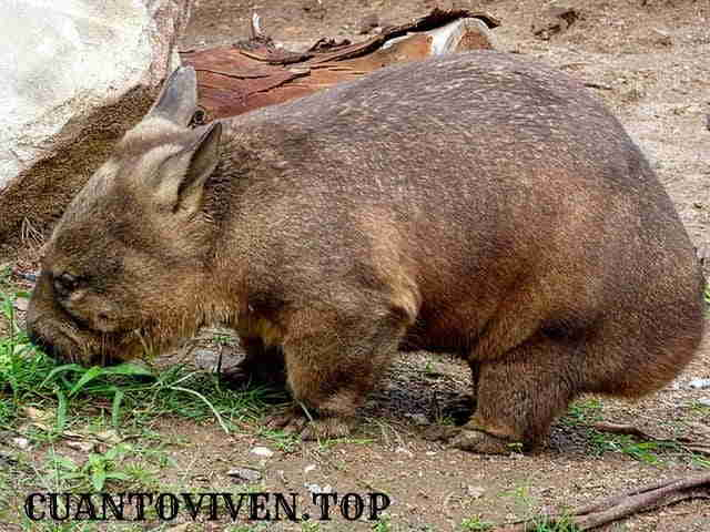 Esperanza de vida de los wombats