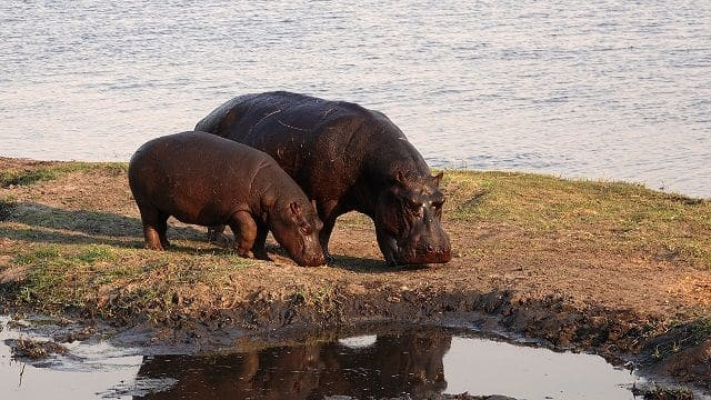 hipopótamos esperanza de vida