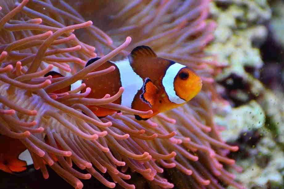 peces payaso esperanza de vida