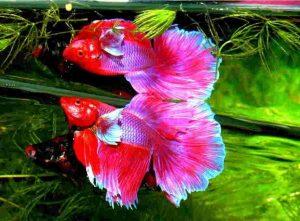 pez betta esperanza de vida