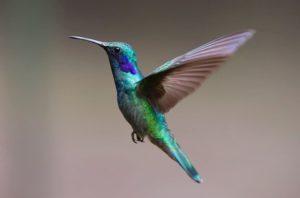 Esperanza de vida de los colibríes