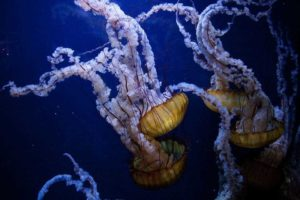 Esperanza de vida de las medusas