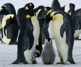 esperanza de vida de los pingüinos
