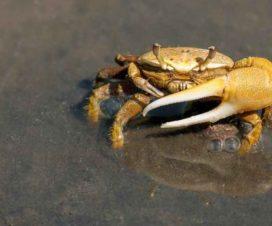 Esperanza de vida de los cangrejos