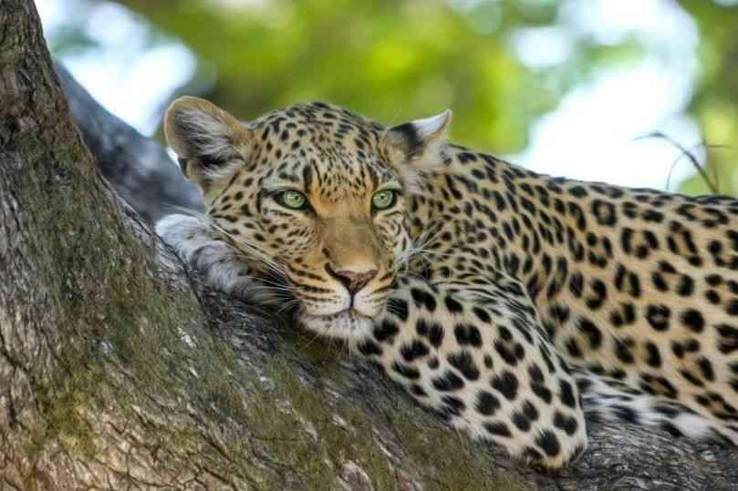 Esperanza de vida de los leopardos