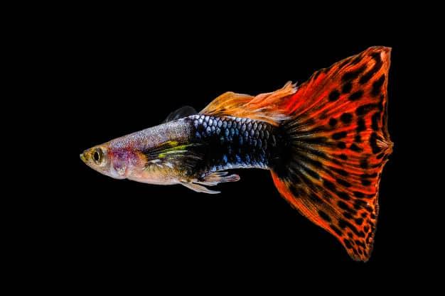 esperanza de vida de los peces guppys